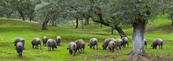 Cochons-iberique-pata-negra