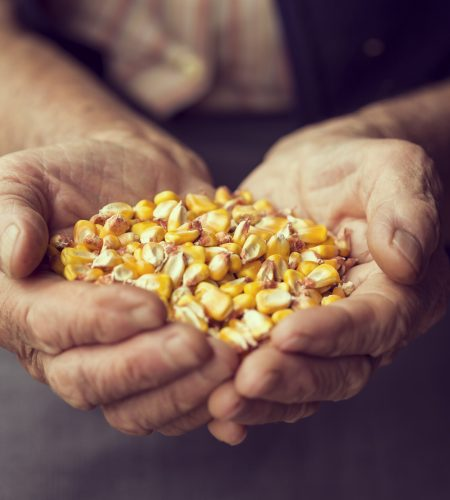 Detail of an elderly woman's hands holding a handful of grain corn. Selective focus